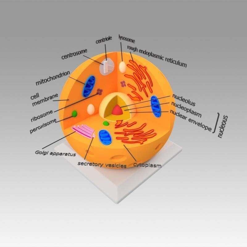 Animal Cell 3D Model