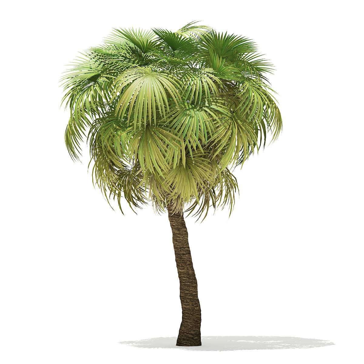 California Palm Tree 75m 3D Model