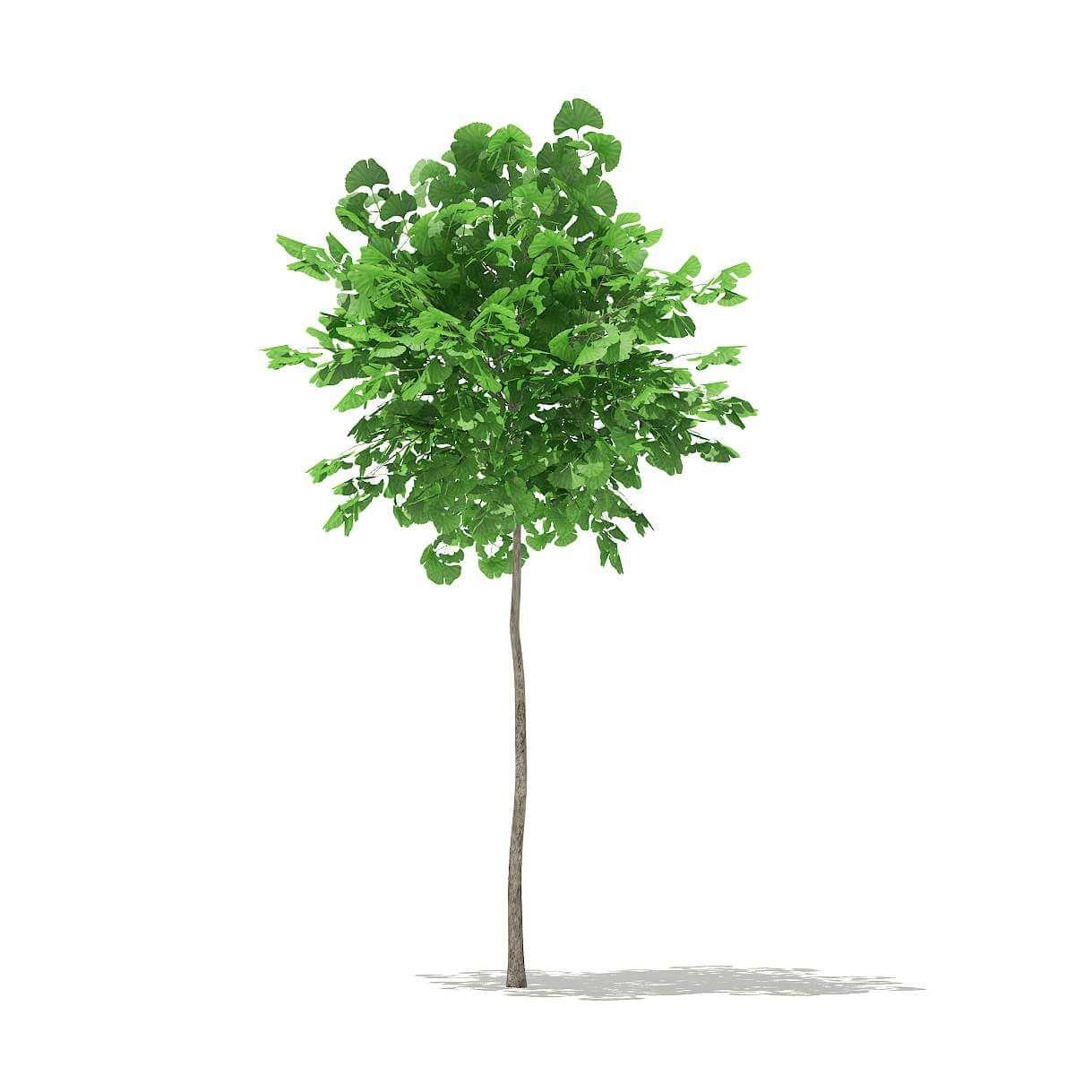 Ginkgo Tree Ginkgo Biloba 18m 3d Model