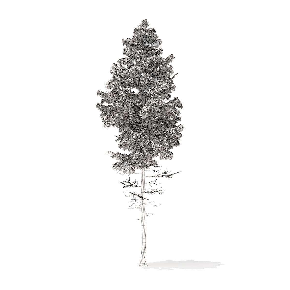 Pine Tree with Snow 77m Free 3D Model