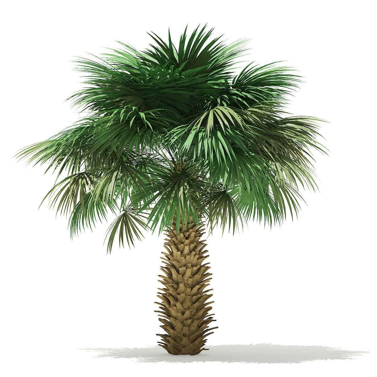 Sabal Palm Tree 4m 3D Model
