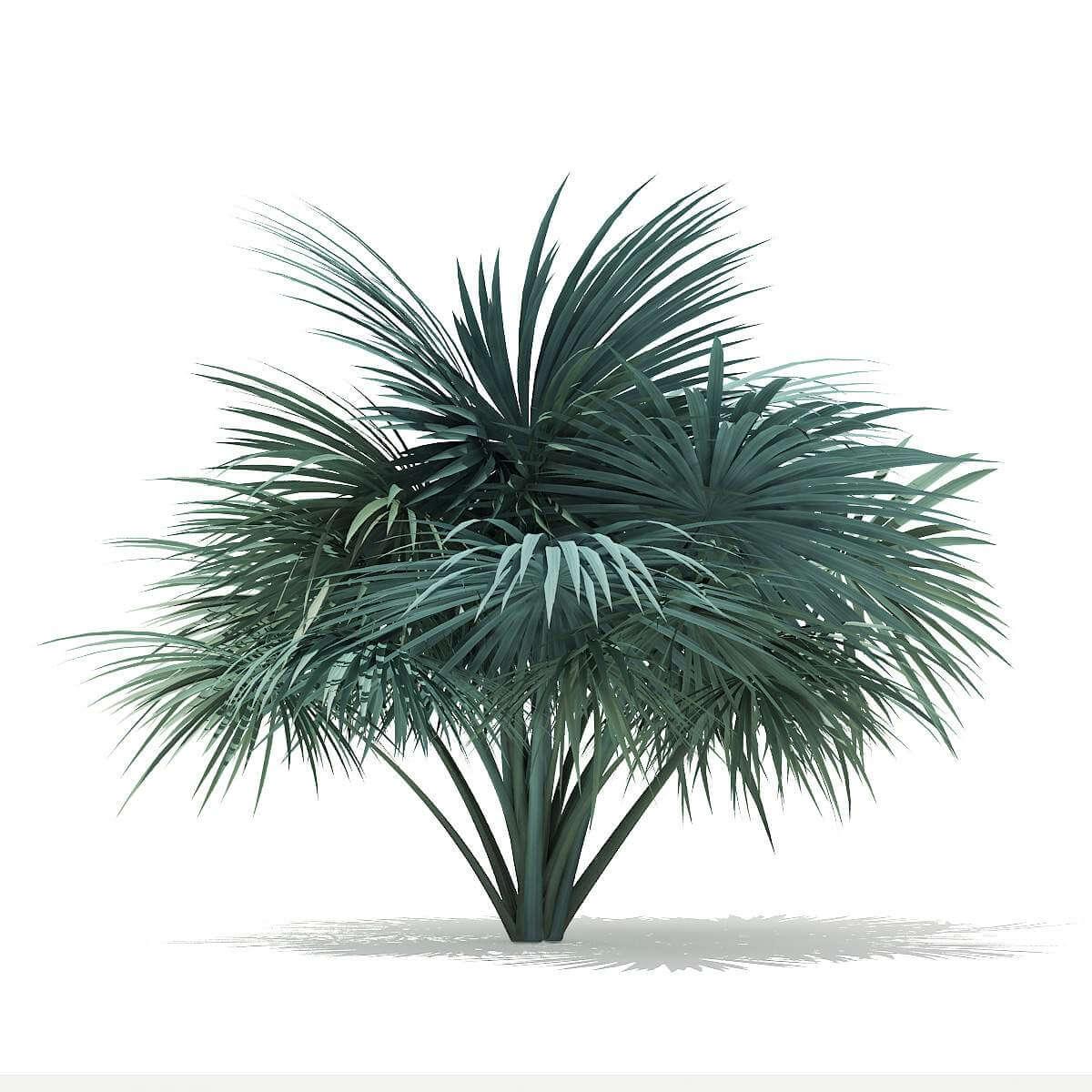 Silver Fan Palm Tree 18m 3D Model