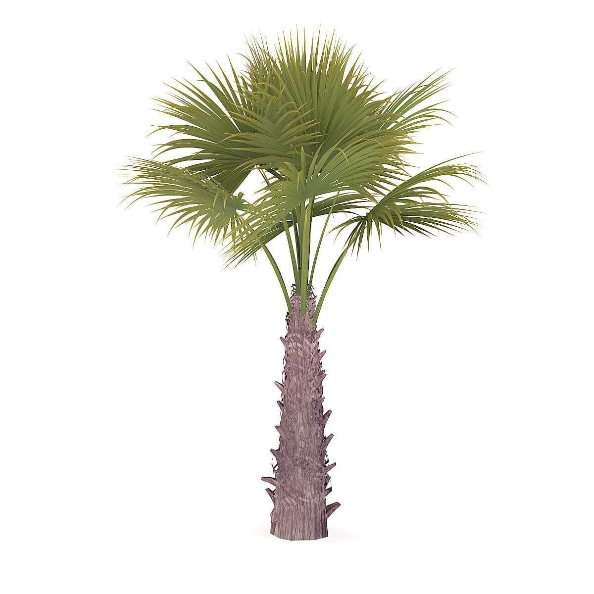 Windmill Palm 3D Model