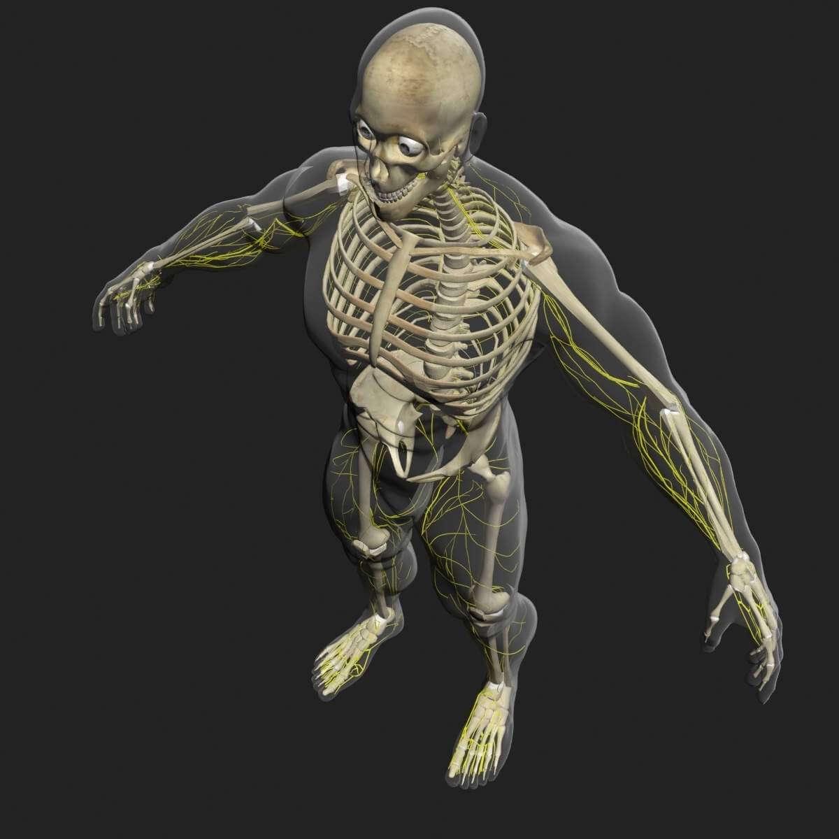 Male Central Nervous System with Skeleton 3D Model