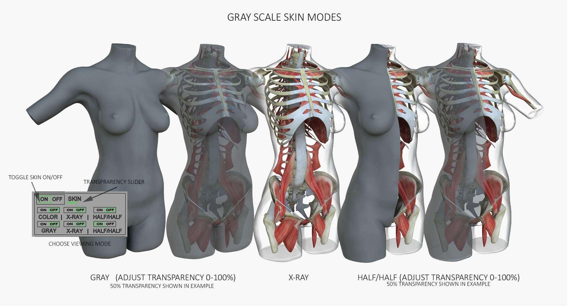 Female African American Torso Muscle Anatomy 3d Model