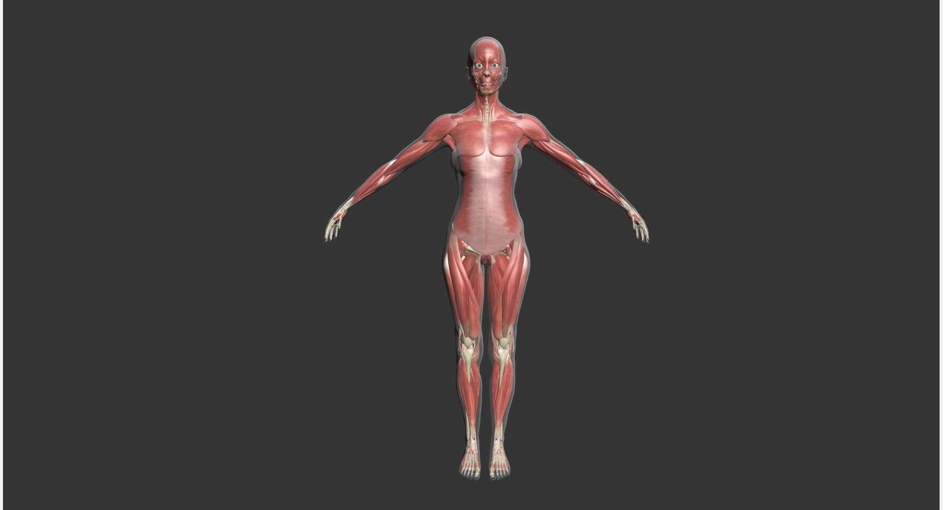 Female Muscle Anatomy 3d Model