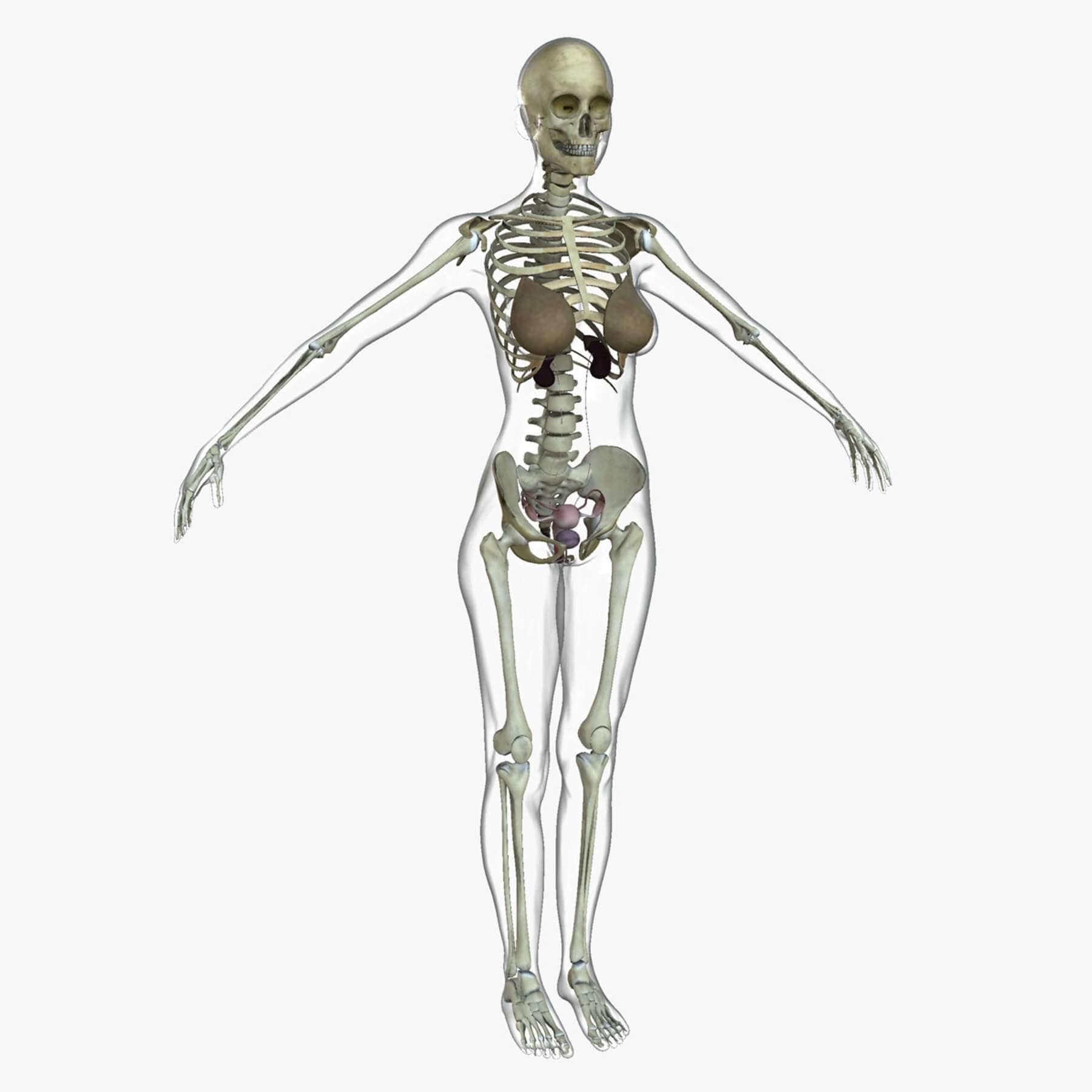 Full Body Anatomy Systems Combo 3D Model