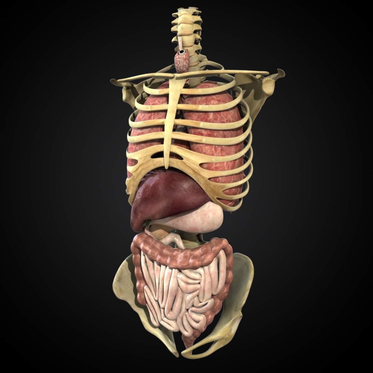 Human Anatomy Study Torso 3d Model