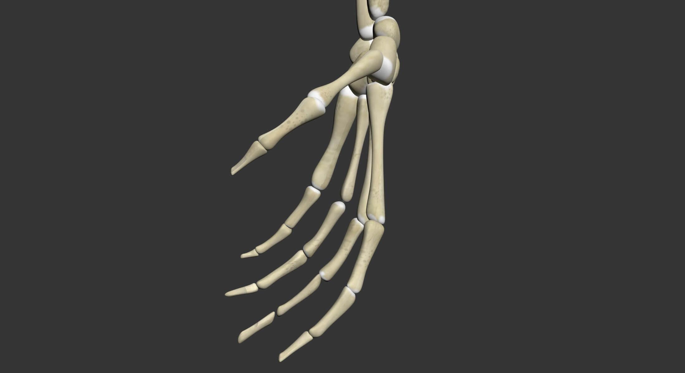 Human Skeleton Arm 3d Model