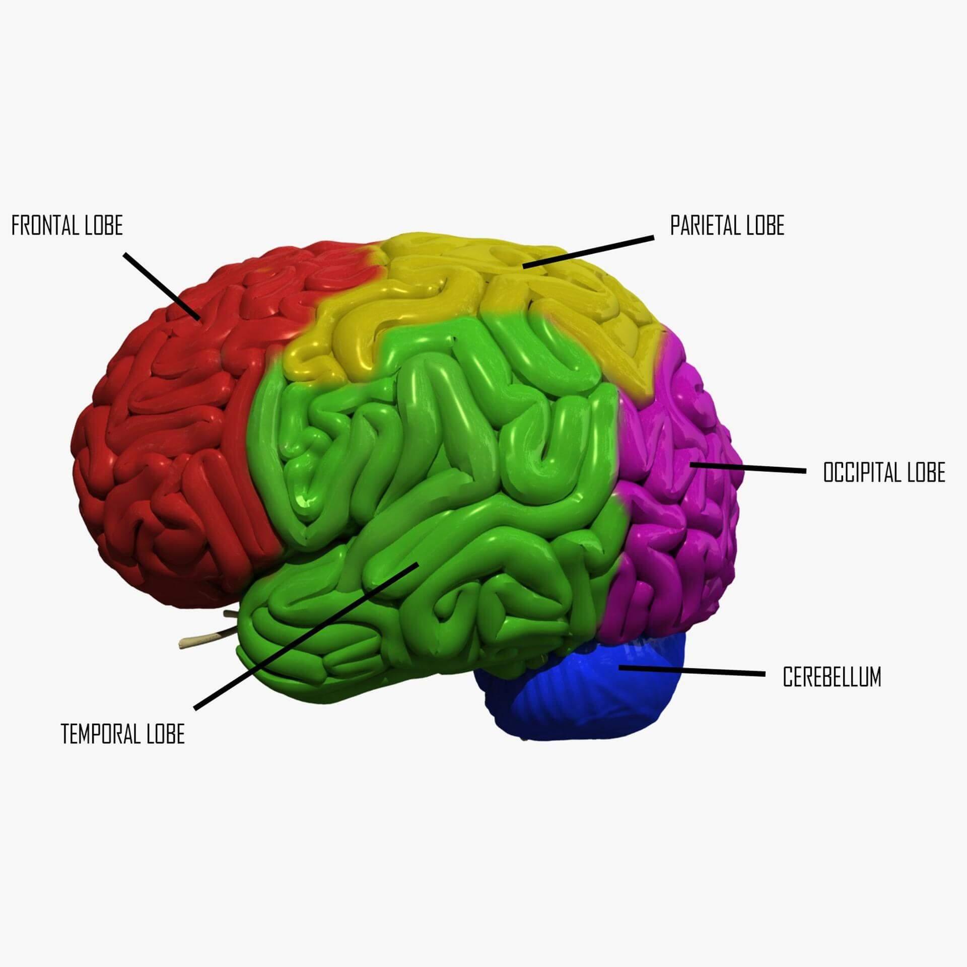 Human Brain Regions 3D Model