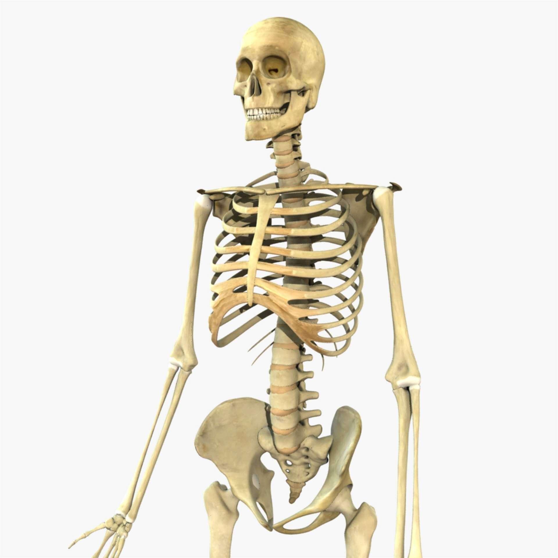 Human Full Body Skeleton 3d Model