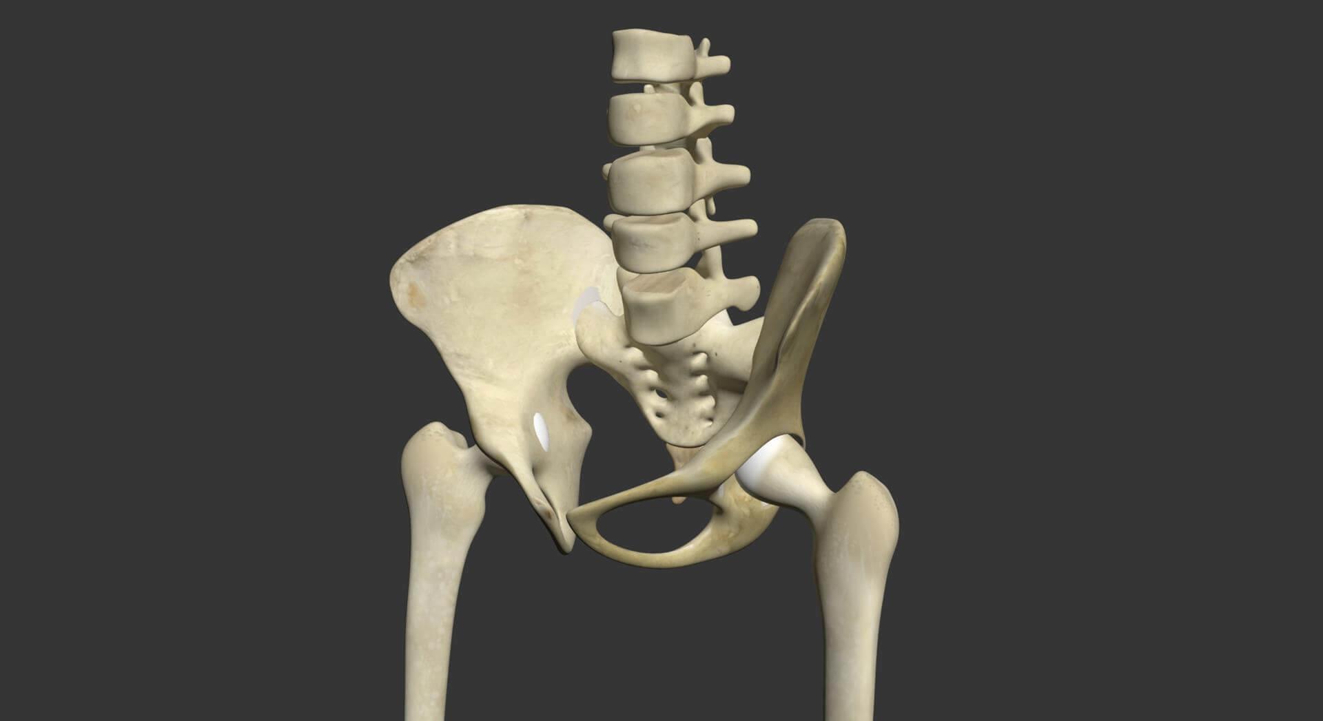 Human Legs Skeleton 3d Model