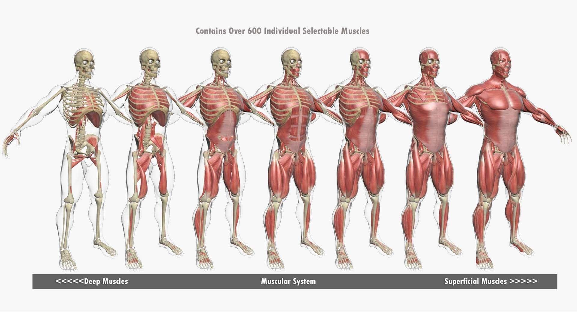 Human Muscle Anatomy Combo 3d Model