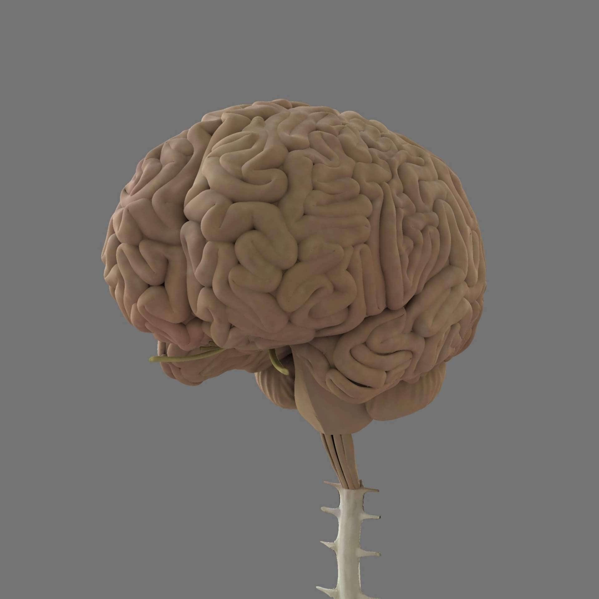 Human Skull with Brain 3D Model