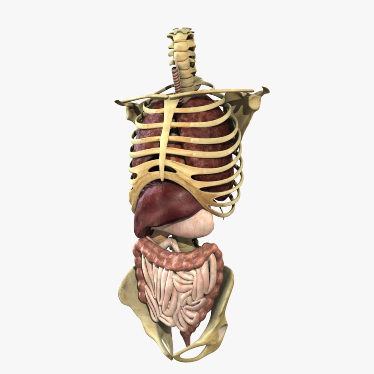 Human Torso Anatomy 3D Model