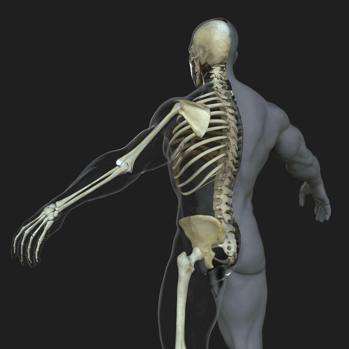 malefemale skeleton with skin combo 3d model