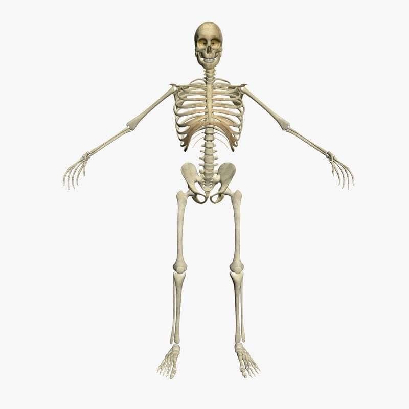 diagram of male skeleton male skeleton 3d model  male skeleton 3d model