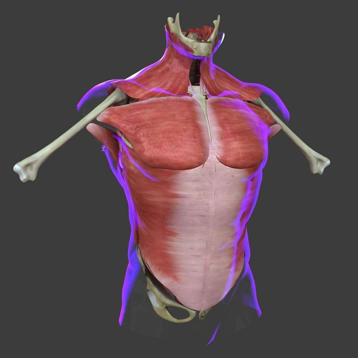 Muscles Of The Human Torso 3d Model