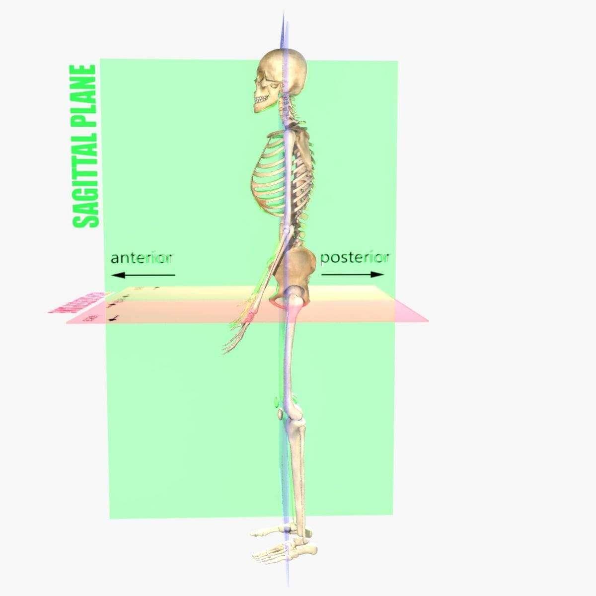 Planes Of The Body Skeleton 3d Model