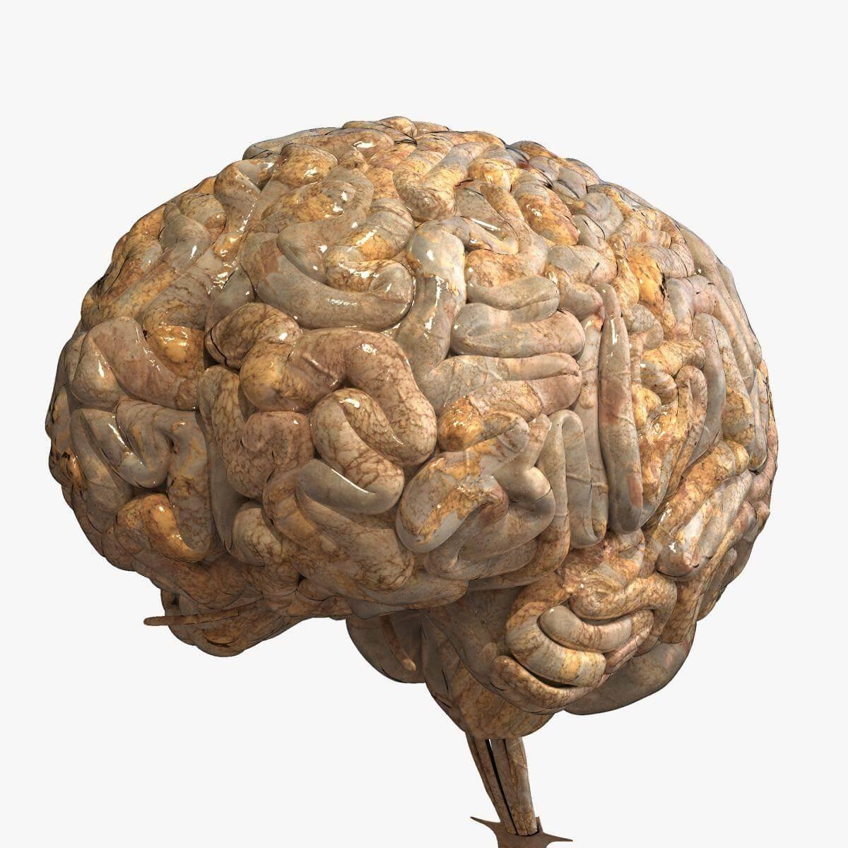 Realistic Human Brain 3D Model