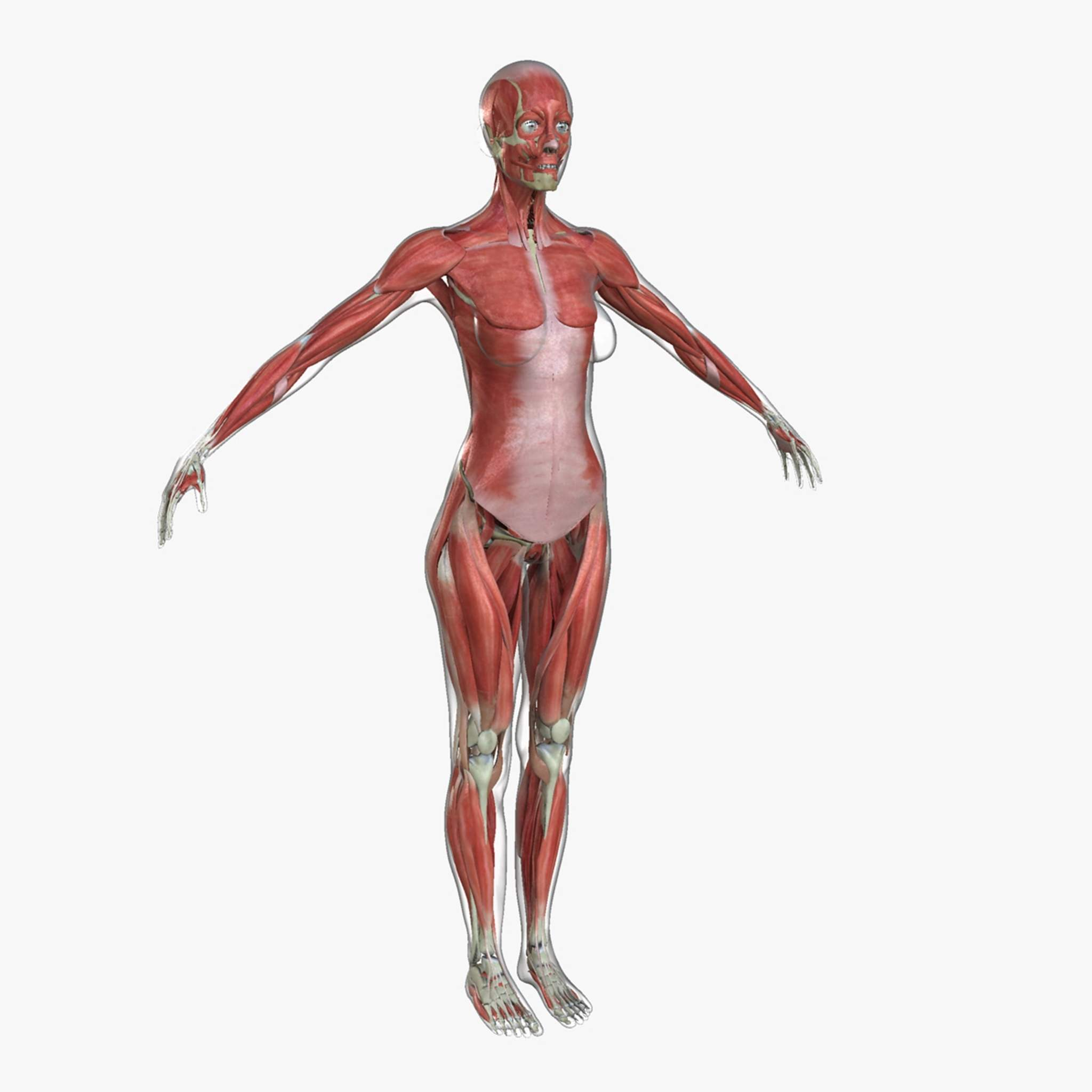 Ultimate Complete Female Anatomy Combo 3D Model