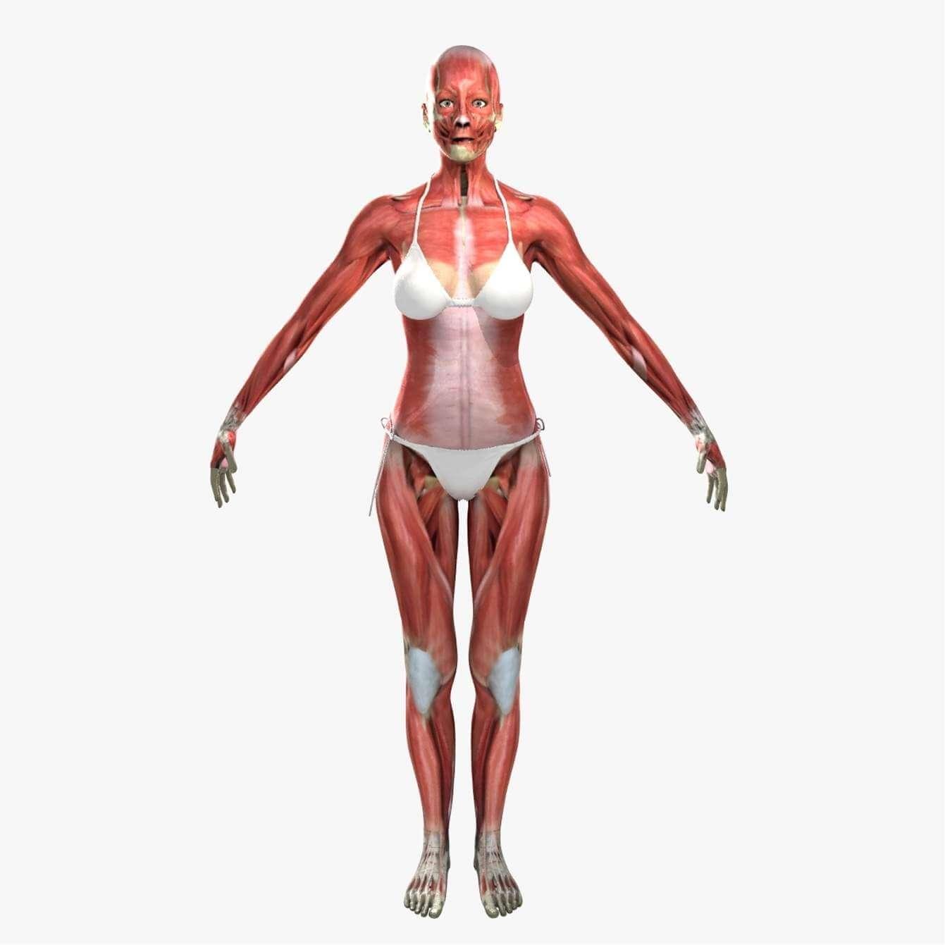 Ultimate Female Muscle Anatomy 3d Model