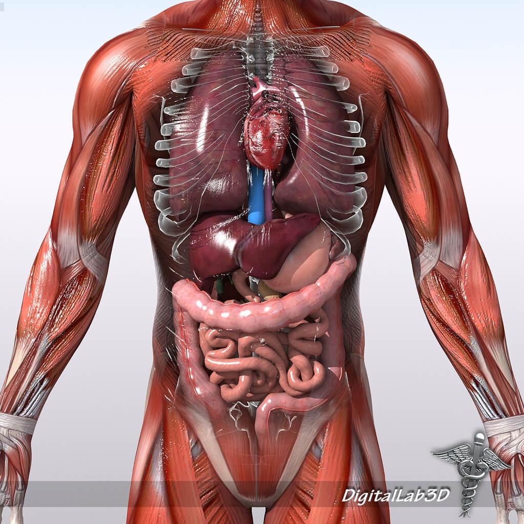Анатомия человека картинки онлайн