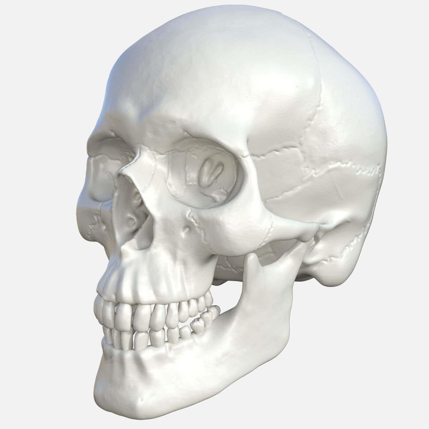 Human Skull Free 3D Model